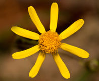 Macro of a yellow flower Stock Image