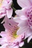 Macro of yellow flower aster Stock Image