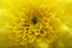 Macro of yellow flower aster. Yellow petals flowers, pistils and heart flower of aster for background or texture Royalty Free Stock Photos