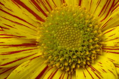 Macro of yellow flower daisy Royalty Free Stock Photos