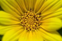 Macro of yellow flower Stock Image