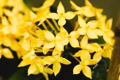 Macro Yellow flower spike Rubiaceae Ixora coccinea in the garden Royalty Free Stock Photography