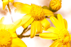 Macro yellow flowers -Senecio or ragwort. Stock Images