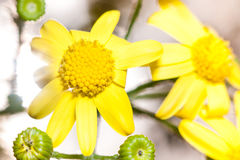 Macro yellow flowers -Senecio or ragwort. Royalty Free Stock Photo