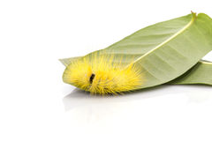 Macro yellow furry caterpillar on green leaf. Studio shot isolat Stock Photo