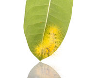 Macro yellow furry caterpillar on green leaf. Studio shot isolat. Ed on white background Stock Photography