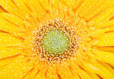 Macro of yellow gerbera. With drops of water Royalty Free Stock Photography