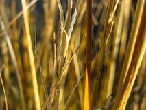 Macro of Yellow Grass Stalks Royalty Free Stock Image