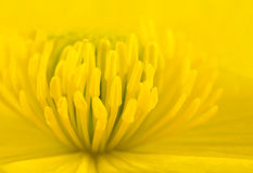 Macro of Yellow Marsh Marigold Flower Center Royalty Free Stock Image