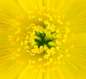 Macro of Yellow Marsh Marigold Flower Center Royalty Free Stock Photos