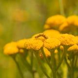 Macro of a Yellow Moth Caterpillar Royalty Free Stock Image