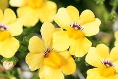 Macro of a yellow nemesia Stock Images