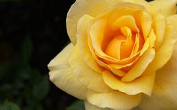 Macro yellow orange Rose right Royalty Free Stock Photos