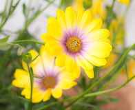 Macro of a yellow osteospermum flower. Blossom Stock Photos