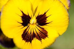 Macro of yellow pansy Royalty Free Stock Image