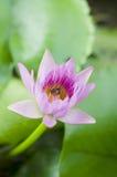 Macro of yellow-pink lotus flower. Royalty Free Stock Photos