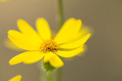 Macro Yellow Ragwort Smoky Mountains Tennessee Royalty Free Stock Photo