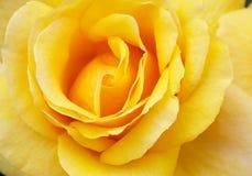 Macro yellow Rose Stock Photo