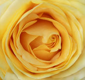 Macro yellow rose Royalty Free Stock Photography