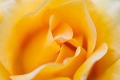 Macro of a yellow rose Royalty Free Stock Photography