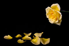 Macro of yellow rose Royalty Free Stock Photos