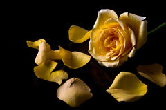 Macro of yellow rose Stock Photography