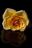 Macro of yellow rose Stock Images