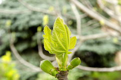 Macro of young fig tree branch with buds in spring on a green grass background Stock Photography