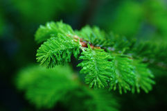 Macro young fir-tree Royalty Free Stock Photo