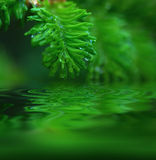 Macro young fir-tree Royalty Free Stock Images