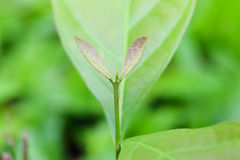 Macro of young foliage Royalty Free Stock Photos