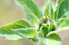 Macro of young sunflower detail Stock Images