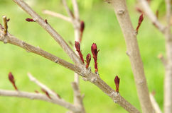 Macro of young tree branch with buds in spring on a green grass background Royalty Free Stock Photo