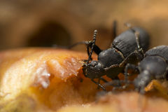 Macro of Zophobas morio or superworm. Stock Images