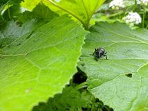 Macro Zwart insect royalty-vrije stock foto