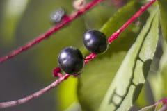 Macro zwarte bes in zonnige dag met groene en purpere bladeren royalty-vrije stock foto's