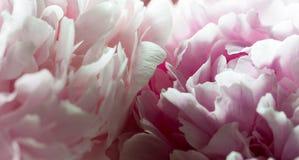Macroachtergrond van pioenbloem Royalty-vrije Stock Fotografie