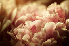 Macroachtergrond van pioenbloem Stock Afbeeldingen