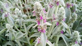 Macrobeeld die van mooie violette bloemen op weide groeien Close-upfoto van violette bloesems stock afbeeldingen