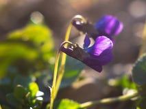 Macrobeeld van de lente lilac violette bloemen stock foto's