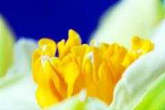 Macrobeeld van de lentebloem, jonquille, gele narcis. Stock Foto