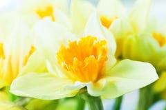 Macrobeeld van de lentebloem, jonquille, gele narcis. Stock Afbeelding
