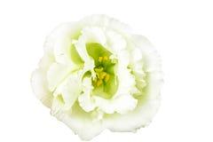 Macrobeeld van geelachtige groene bloem Stock Foto