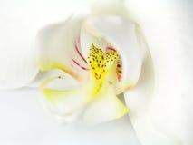Macrobeeld van orchidee Stock Afbeelding