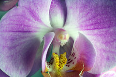 Macrobeeld van orchidee druppeltjes op orchideebloem, met een kleine diepte van gebied wordt gevangen dat Royalty-vrije Stock Afbeeldingen