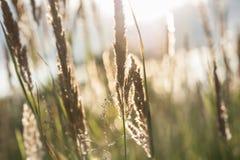 Macrobeeld van wilde grassen bij zonsondergang Stock Foto