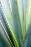 Macrobladeren van Yuccainstallatie, stock fotografie