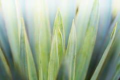 Macrobladeren van Yuccainstallatie, stock foto