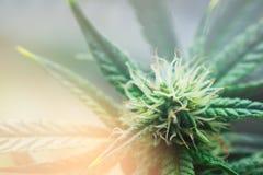 Macrobloem, Concepten het legaliseren van geneeskrachtige marihuana, het binnen Lichte stemmen Royalty-vrije Stock Foto