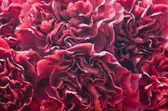 Macrobloemblaadjes van kruidnagels Stock Afbeeldingen